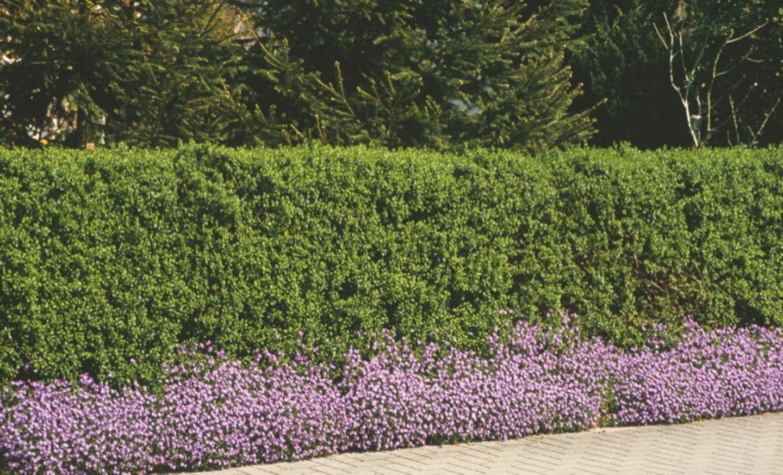 Hecken Verbessern Die Lebensqualitat Im Garten